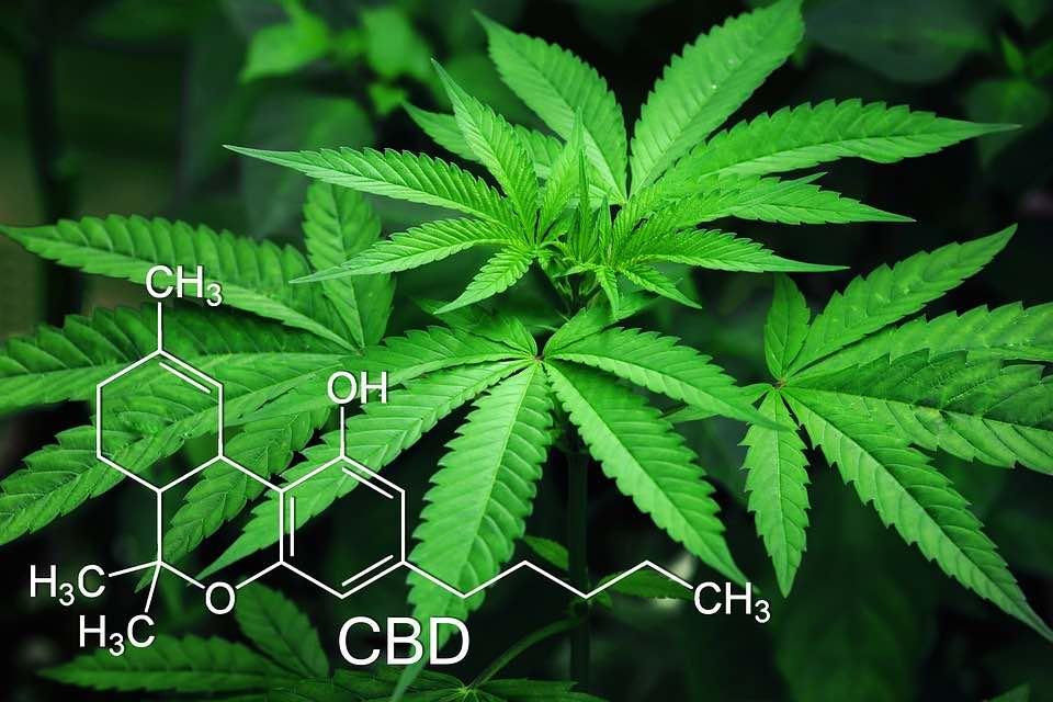 plante pour le CBD
